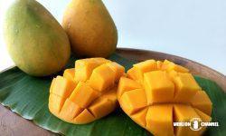 実のオレンジ色が鮮やかなアルフォンソ・マンゴー