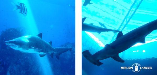 S.E.A Aquarium(シー・アクアリウム)のサメ