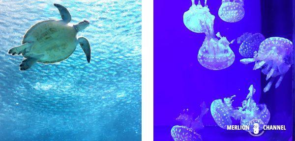 沖縄美ら海水族館カメとクラゲ