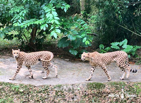 シンガポール動物園のチーター