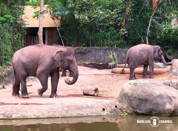 シンガポール動物園のゾウ