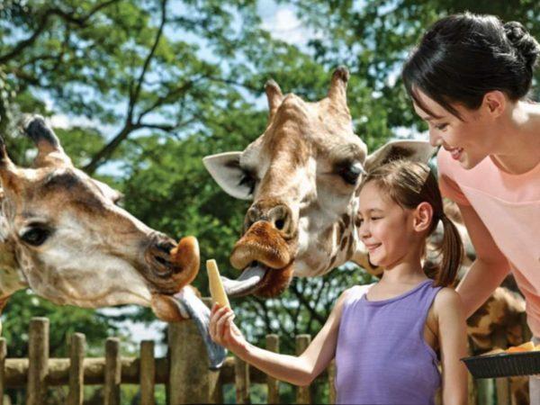 シンガポール動物園で「キリンの餌やり」体験