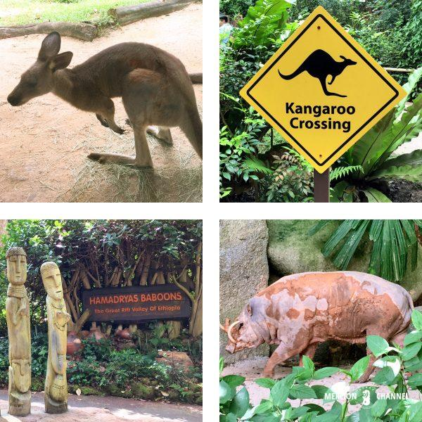 シンガポール動物園のカンガルー